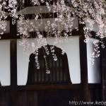 吉峰寺の枝垂れ桜